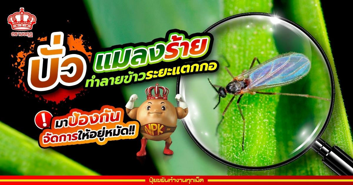 บั่ว แมลงร้าย ทำลายข้าวระยะแตกกอ มาป้องกัน จัดการให้อยู่หมัด!!